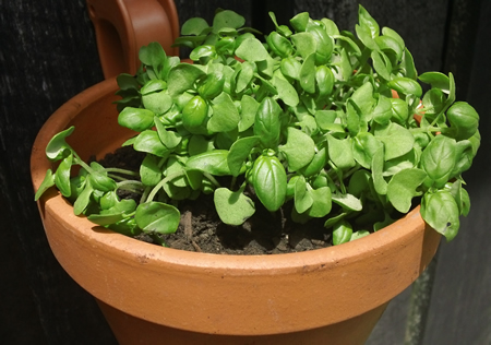 Basil For Herb Garden