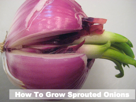 How To Grow Sprouted Onions