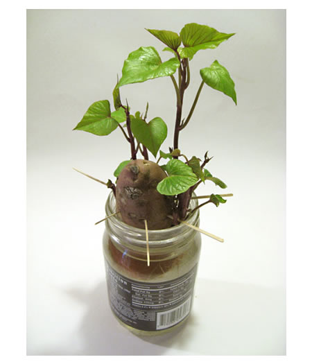 How To Grow A Sweet Potato Vine Indoors