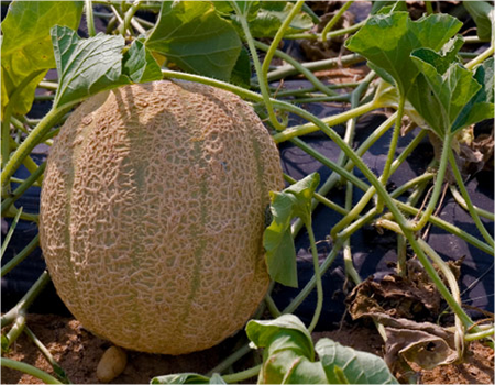 How To Grow Cantaloupes