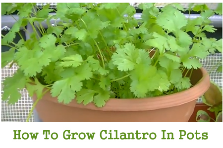 Growing Cilnatro From Seed In Pots