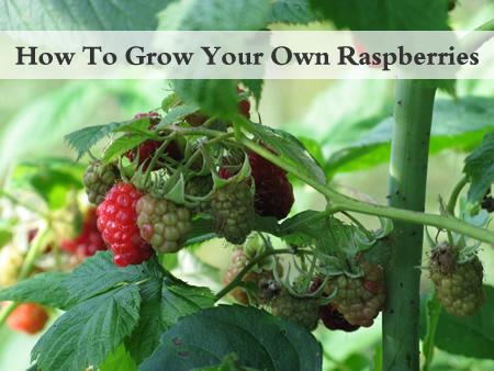 Growing Raspberries In Your Garden