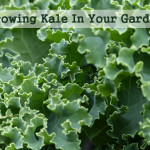 How To Grow Kale In Your Garden