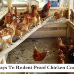 4 Ways To Rodent Proof Your Chicken Coop