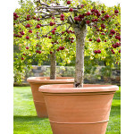 Growing Apple Trees In Containers