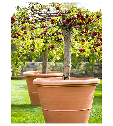 apple trees in containers, Natural flower