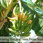 Growing Banana Trees From Seed