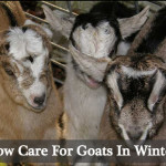 Caring For Goats In Winter