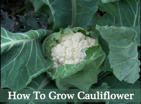 howtogrowcauliflower