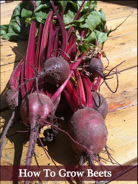 How To Grow Beets From Seed