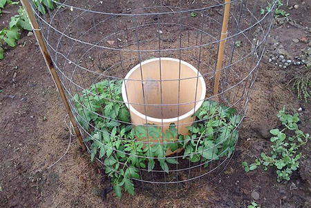 How To Grow A Bumper Tomato Crop