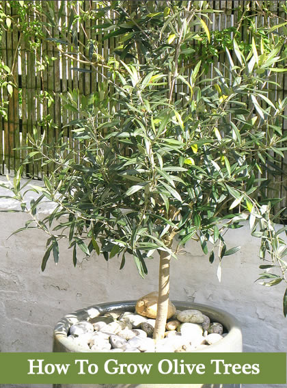 Here S What You Ll Need Olive Tree Seedling Or Seed Container