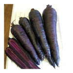 Growing Purple Sun Carrots