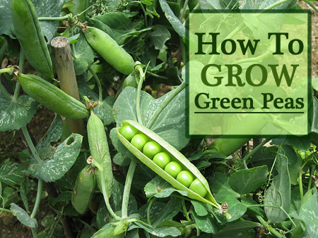 How To Grow Green Peas