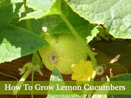 Growing Lemon Cucumbers
