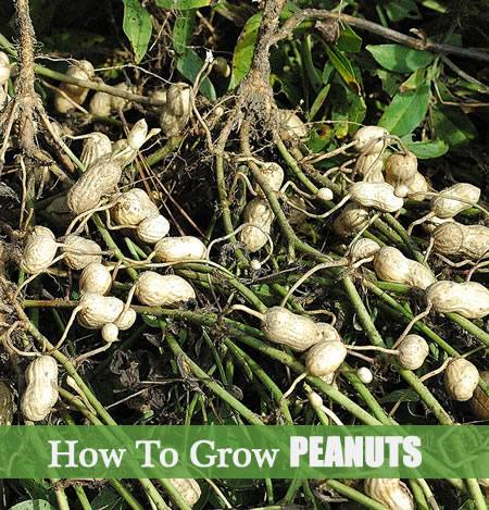 Where Do Peanuts Grow for Pinterest