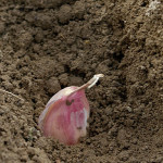 How To Plant Garlic In Spring