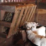 DIY Wood Pallet Goat Hay Feeder