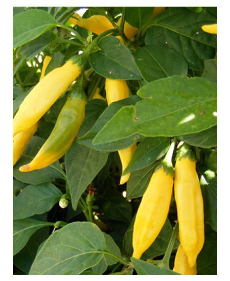 Growing Aji Limon Peppers