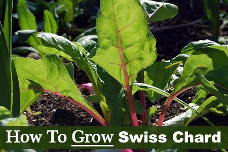 How To Grow Swiss Chard
