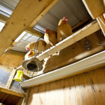 DIY Chicken Poop Gutter