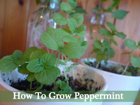 How To Grow Peppermint
