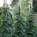 How To Grow Grandpa's Pole Beans