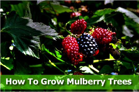 Growing A Mulberry Tree