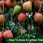 How To Grow A Lychee Tree From Seed