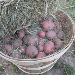 Storing Potatoes From Your Garden