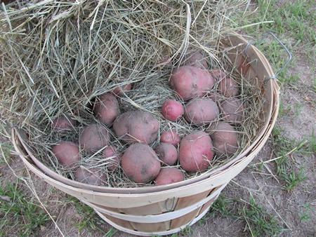 Storing Potatoes
