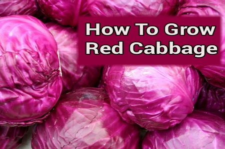 Growing Red Cabbage