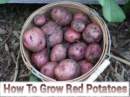 Growing Red Potatoes
