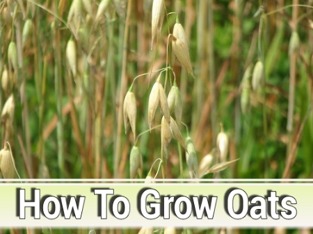How To Grow Oats