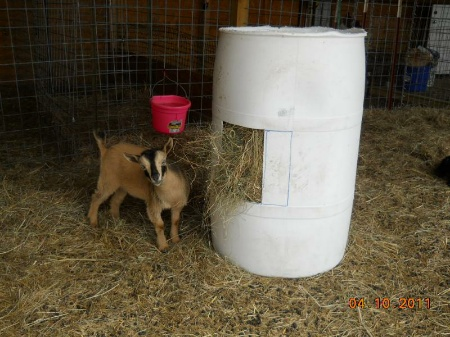DIY Plastic Drum Goat Hay Feeder