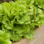 Growing Lettuces On Your Windowsill