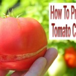 How To Prevent Tomato Cracks