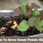 How To Grow Sweet Potato Slips From Soil