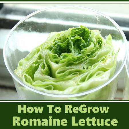 How To ReGrow Romaine Lettuce