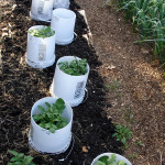 How To Grow Potatoes In Buckets