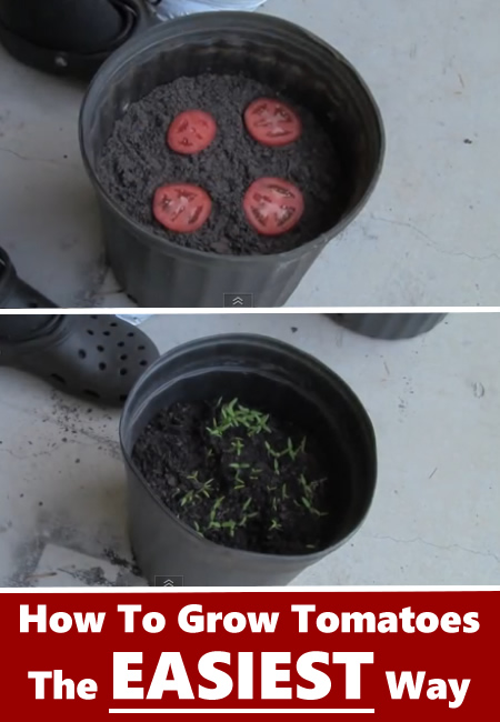 The Easiest Way To Grow Tomatoes