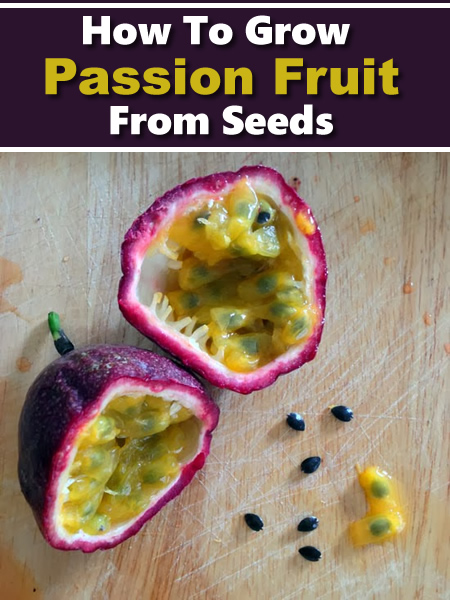 Growing Passion Fruit From Seed