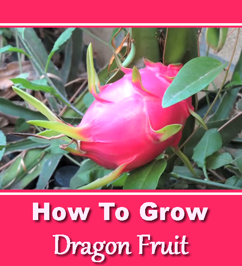 fruits with pits how to grow dragon fruit