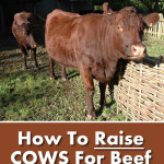 How To Raise Cows For Beef