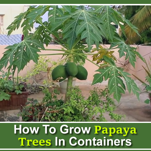 How To Grow Papaya In Containers