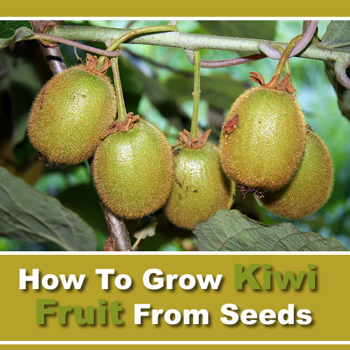 How To Grow Kiwi Fruit From Seeds
