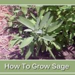 How To Grow Sage