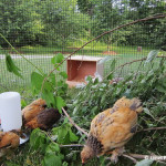 DIY Backyard Chick Playground Plans