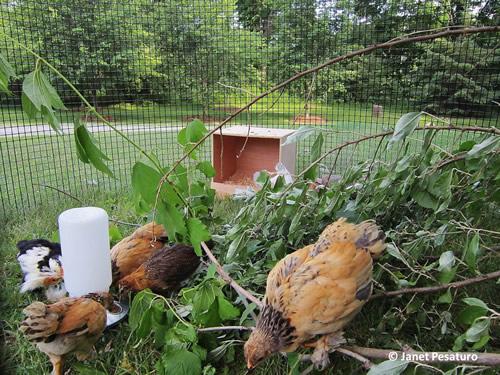 DIY Backyard Chick Playground Plans