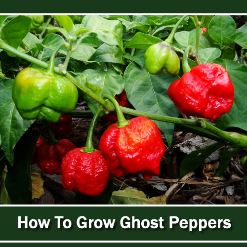 Growing Ghost Peppers